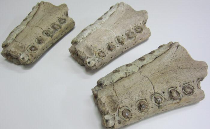 Moulage de machimosaurus - fossile du Muséum d'Auxerre